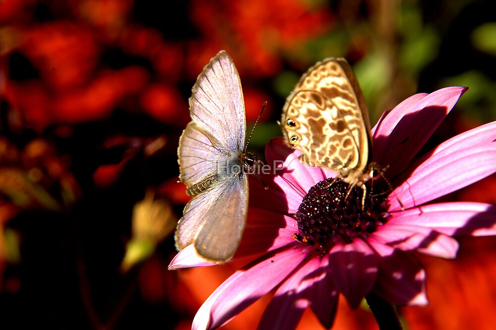 Double-spotted Line-blue butterfly by HowieP