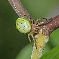 Orb Web Spider by MikeSquires