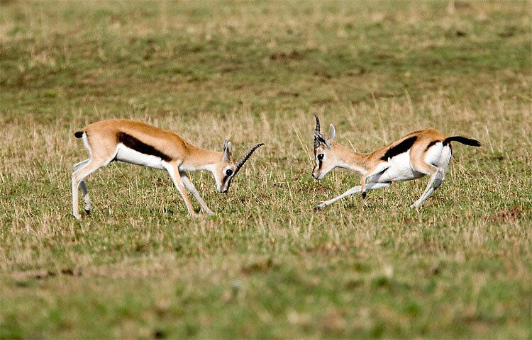 Two Naughty Young Gazelles by FrancisDCG