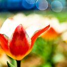 DC Tulip by Nancy
