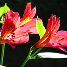 Liliums - Touching the Light  by Marilyn Harris
