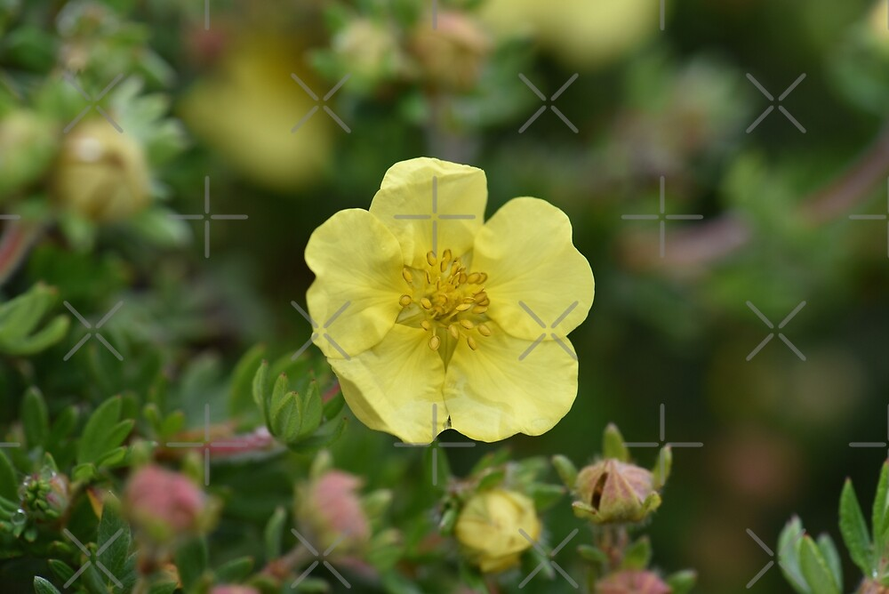 Potentilla In The Garden by awanderingsoul