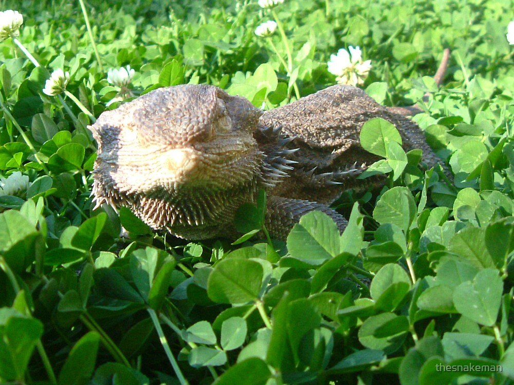 Adult central bearded dragon by thesnakeman