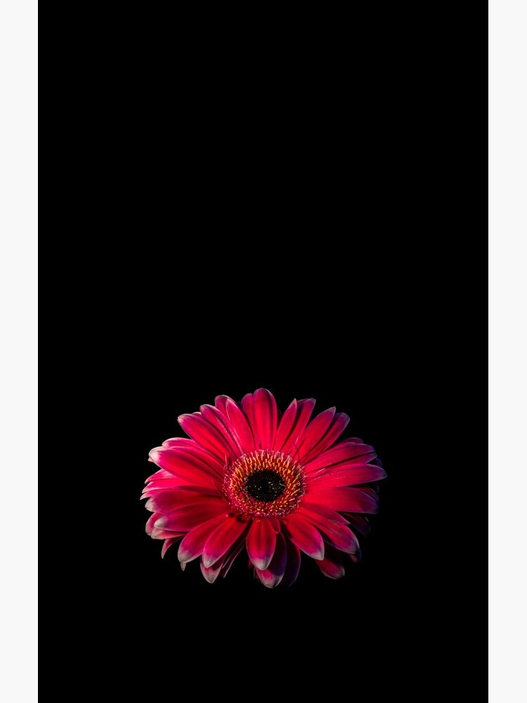 Close up of a red Gerbera Flower by sadler2121