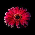 Close up of a red Gerbera Flower by Sara Sadler