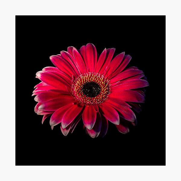 Close up of a red Gerbera Flower Photographic Print