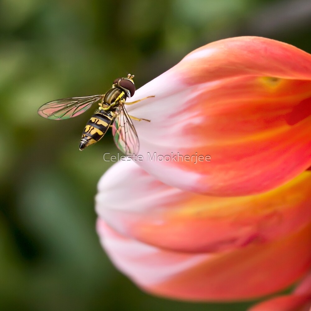 Hoverfly on dahlia petal by Celeste Mookherjee