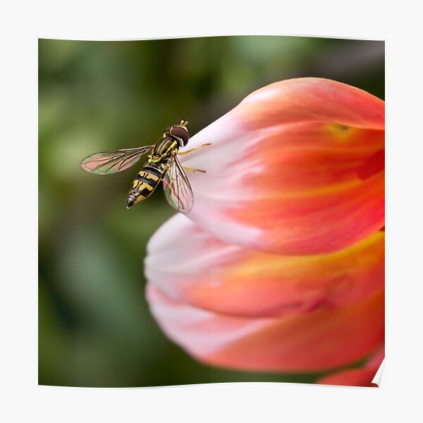 Hoverfly on dahlia petal Poster