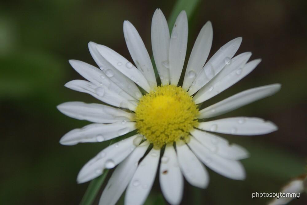 Raindrops on Daisy2 by photosbytammy
