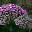 Purple Yarrow by Rachel Leigh