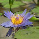 Lotus Flower by hummingbirds