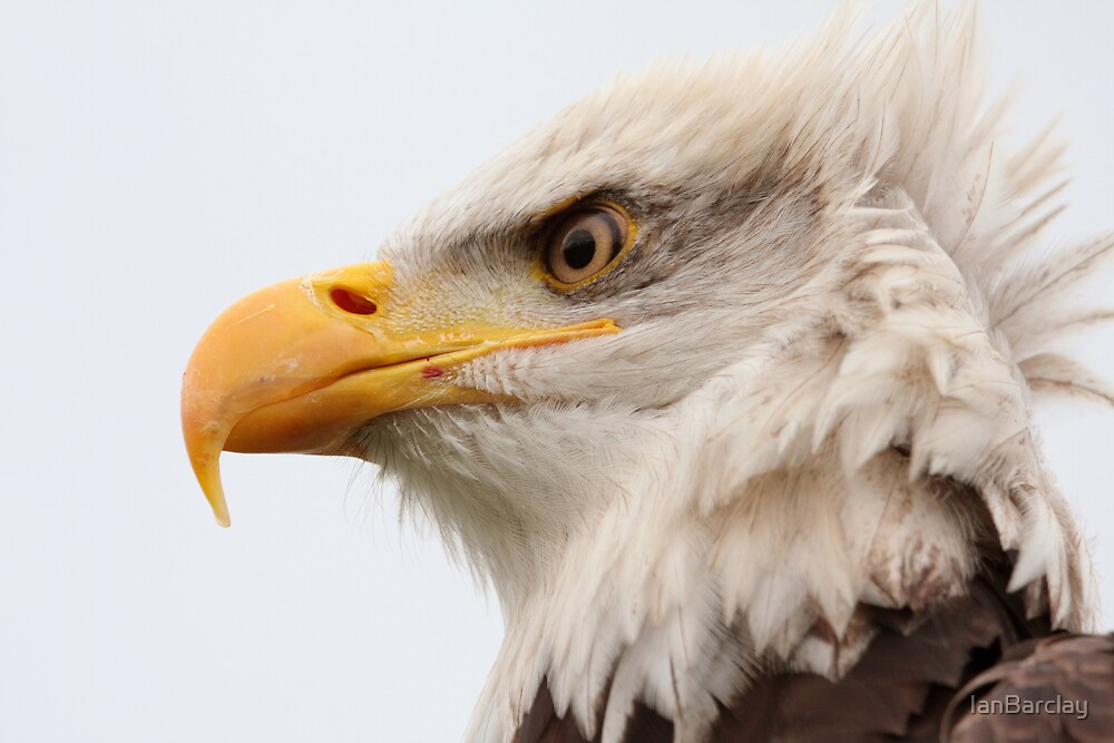 Bald Eagle Pic 1 by IanBarclay