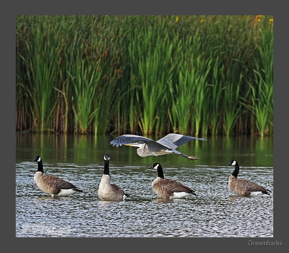 Great Blue Heron and Canada Geese by Dreambarks