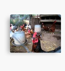 One tough... rooster! Canvas Print