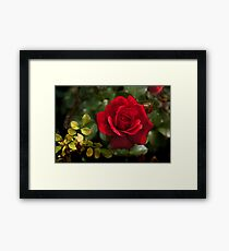 My Love is Like a Red, Red Rose... Framed Print