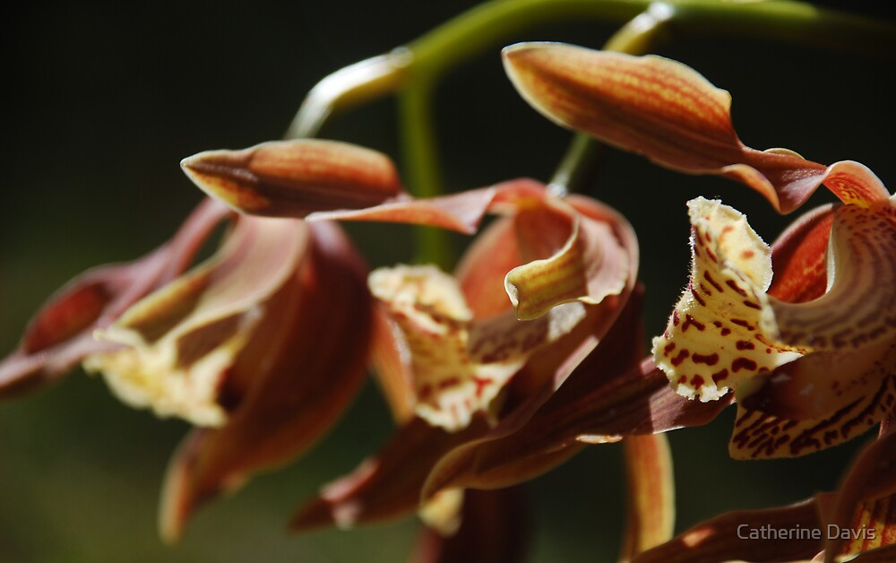 Brown Orchid by Catherine Davis