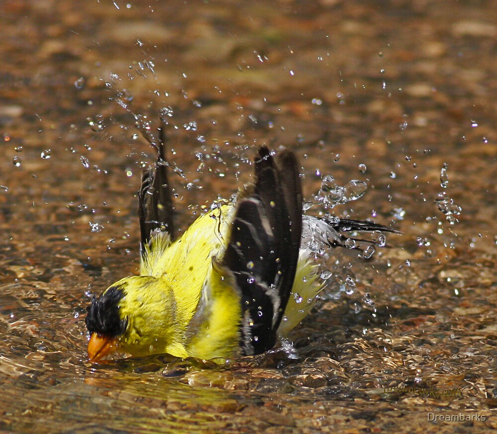 American Goldfinch Bathing by Dreambarks