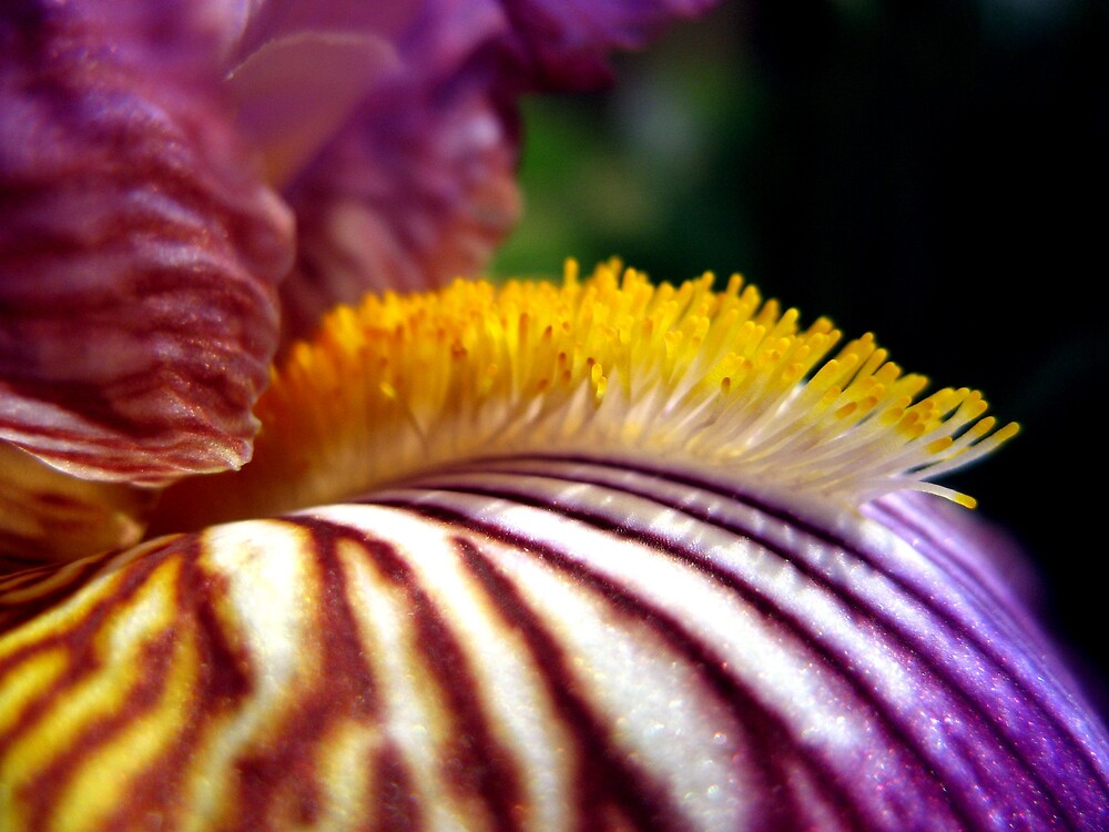 Iris by SarahTrangmar