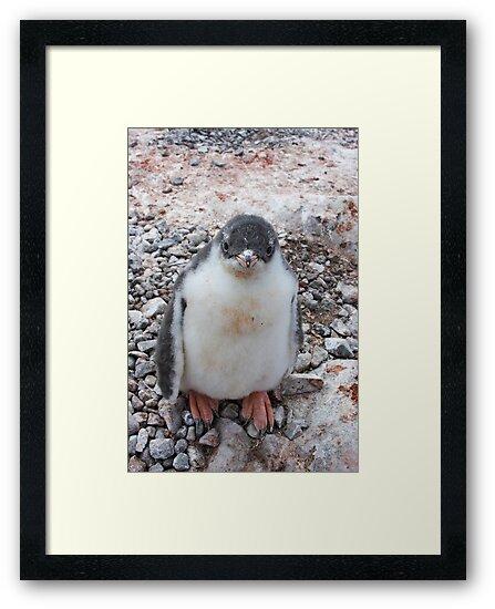 "Gentoo Penguin Chick ~ ""My life's goal....to grow into my feet!"" by Robert Elliott"