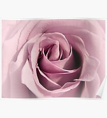 Faded Lilac Rose Poster