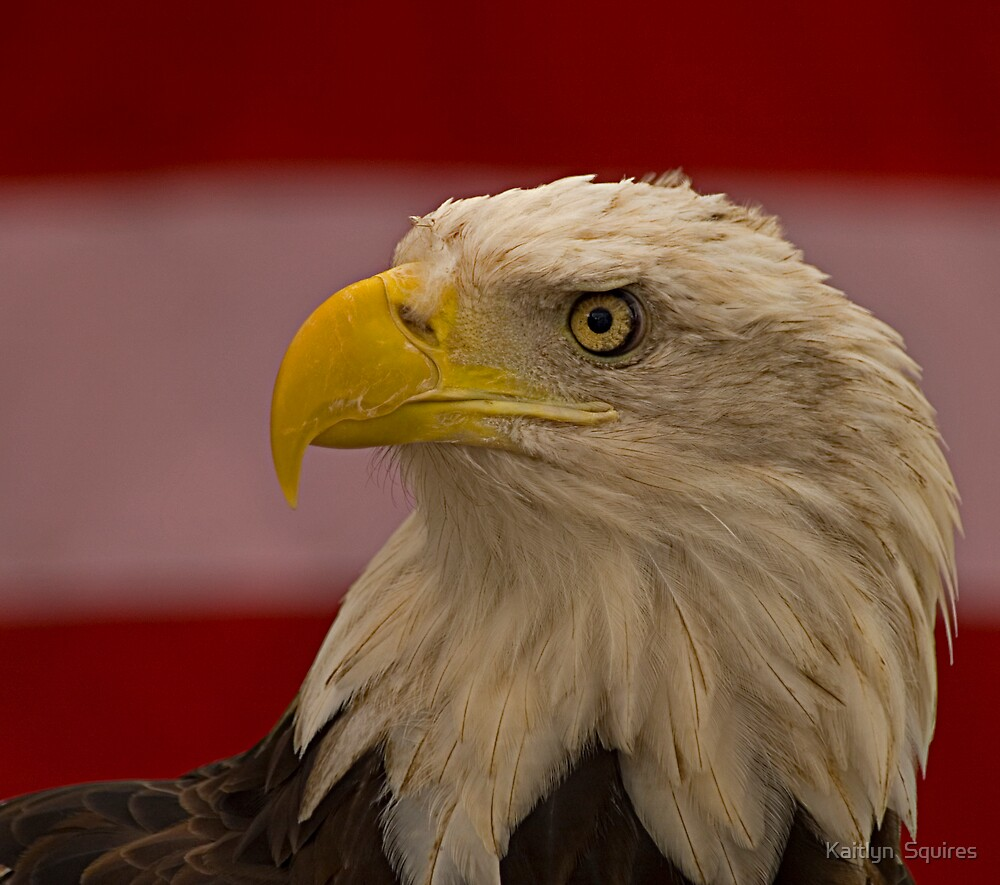 American Bald Eagle by Kaitlyn  Squires