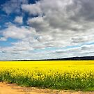 Canola Fields by Austin Dean