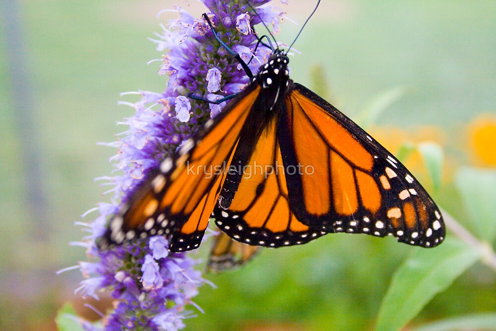 The Monarch by krysleighphoto