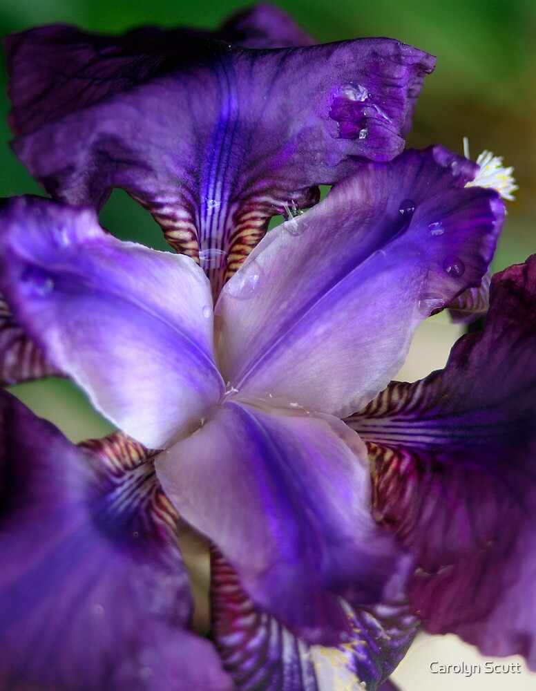 Purple Iris 12 by Carolyn Scutt