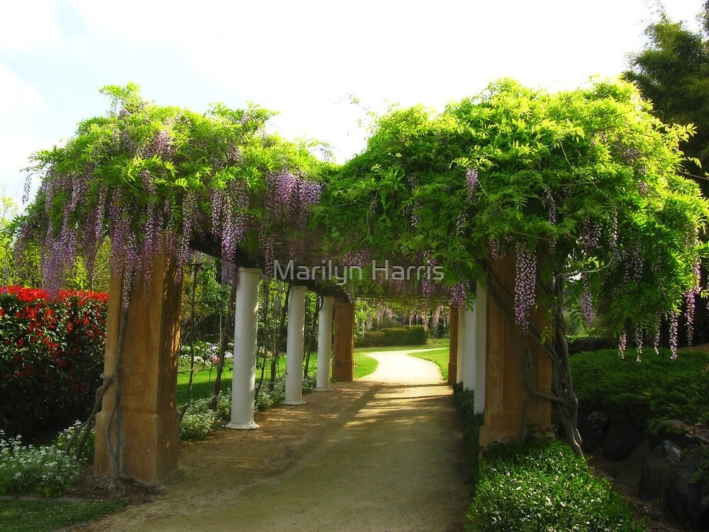 Wisteria - Hunter Valley Gardens by Marilyn Harris