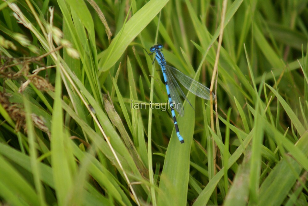 blue dragonfly  by ian taylor