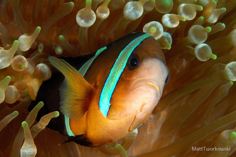 Aggresive Anemone Fish by MattTworkowski