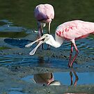 Spoonbill Says Hello by TJ Baccari Photography