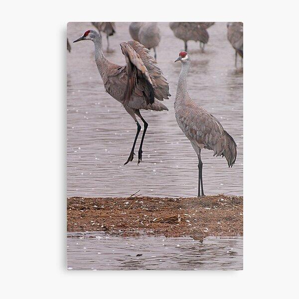Courtship of the Sandhill Cranes Metal Print