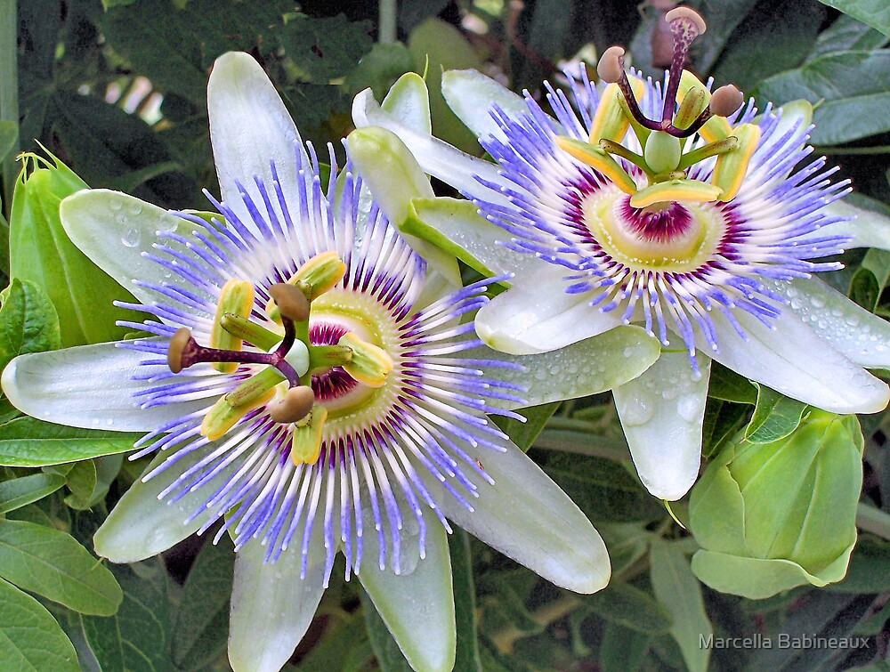 Purple Passion Flowers by Marcella Babineaux