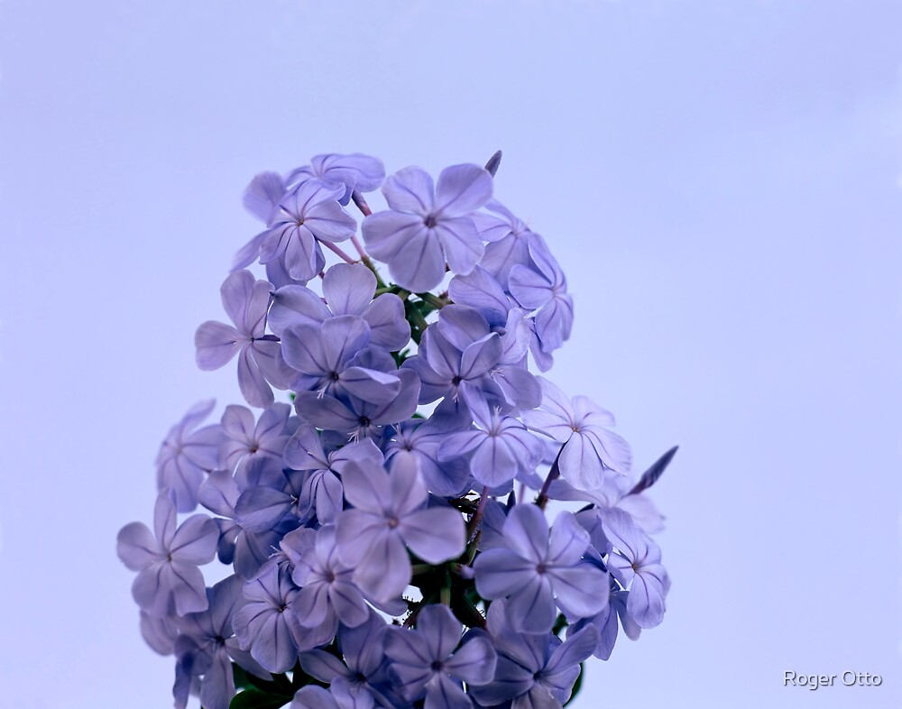 Plumbago by Roger Otto