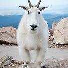 Posing Goat by Eivor Kuchta