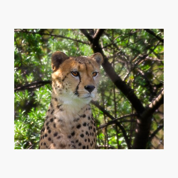 Cheetah Portrait Photographic Print