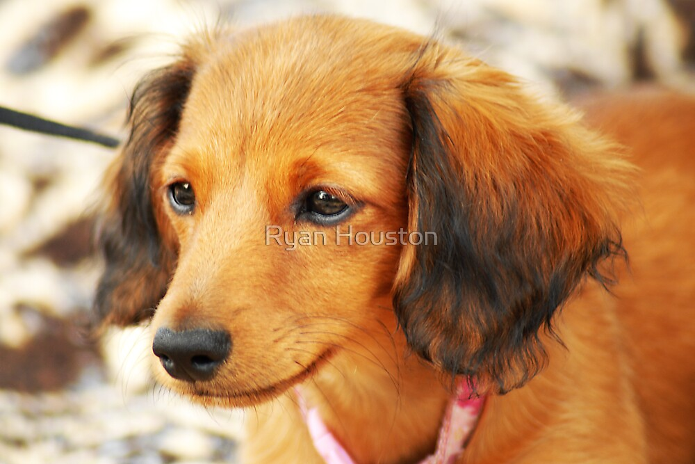 Miniature Long-Haired Dachsund by Ryan Houston