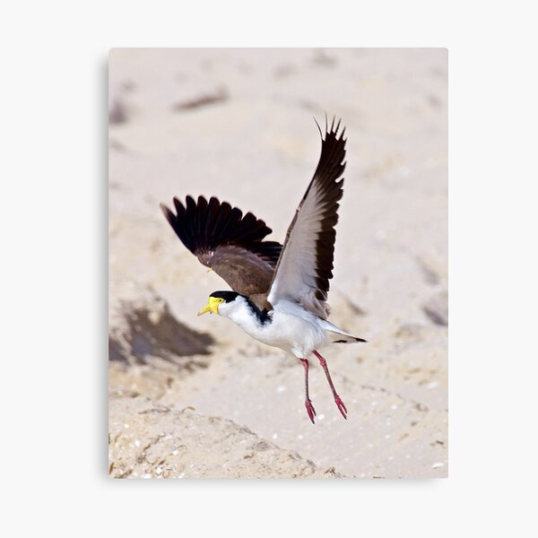 LAPWING ~ Masked Lapwing AQ4Y7QJE by David Irwin Canvas Print