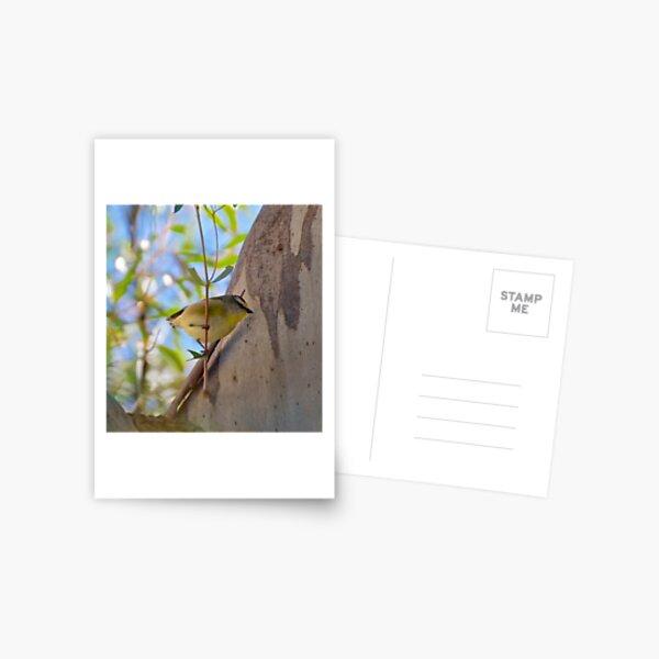 PARDALOTE ~ Striated Pardalote by David Irwin Postcard