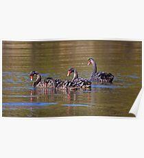 WATERFOWL ~ Black Swan Cygnets by David Irwin Poster