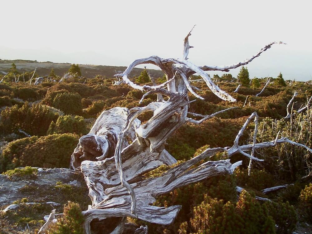 weird dead trees on Mt Read, Rosebery, Tasmania by gaylene
