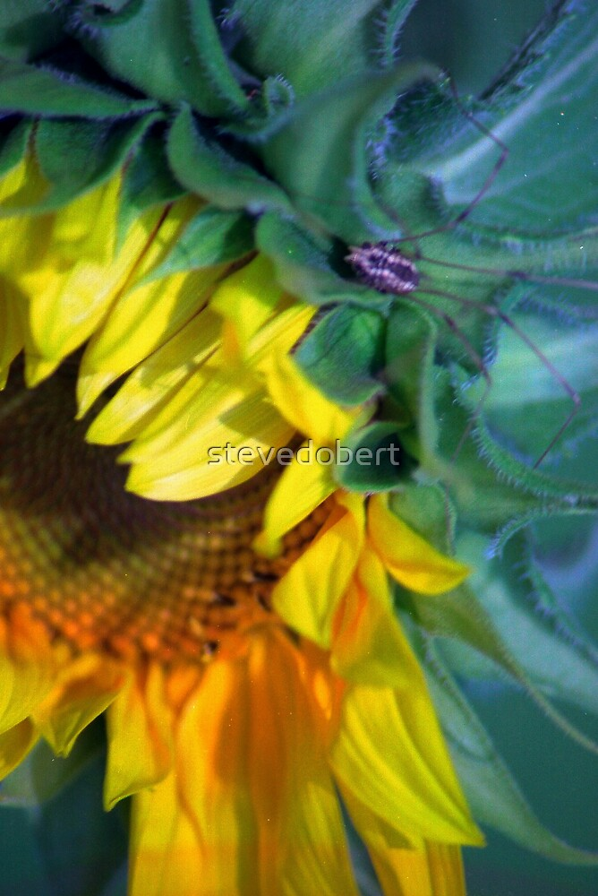 sunflower and daddy long leg by stevedobert