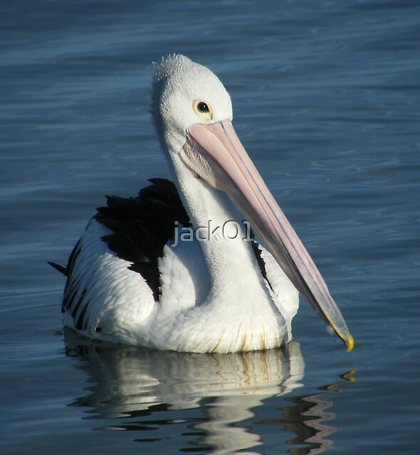 Pelican reflections  by jack01
