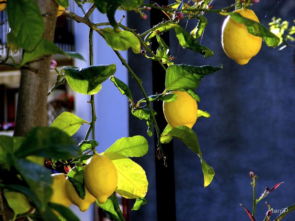 Lemons in France by terriP