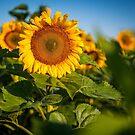 Sunflowers in North Dakota by Sam Scholes