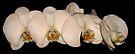Orchids by Dawne Olson