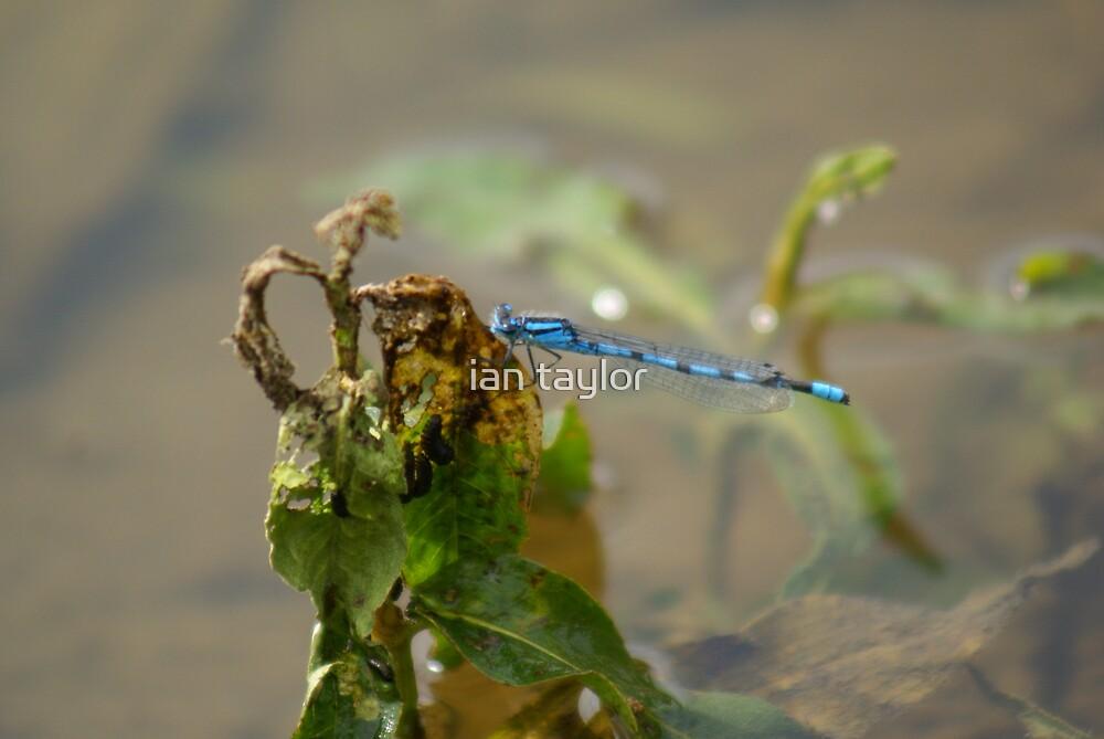 little blue by ian taylor