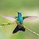 Green Violetear Hummingbird by Jim Cumming