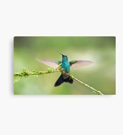 Green Violetear Hummingbird Canvas Print